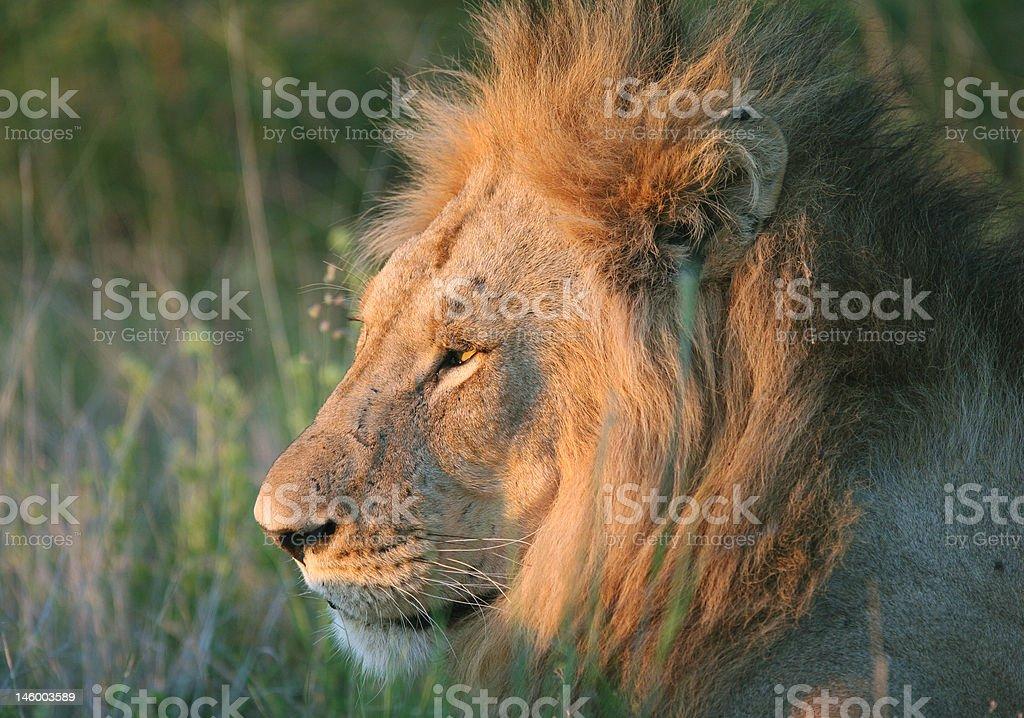 Panthera leo royalty-free stock photo