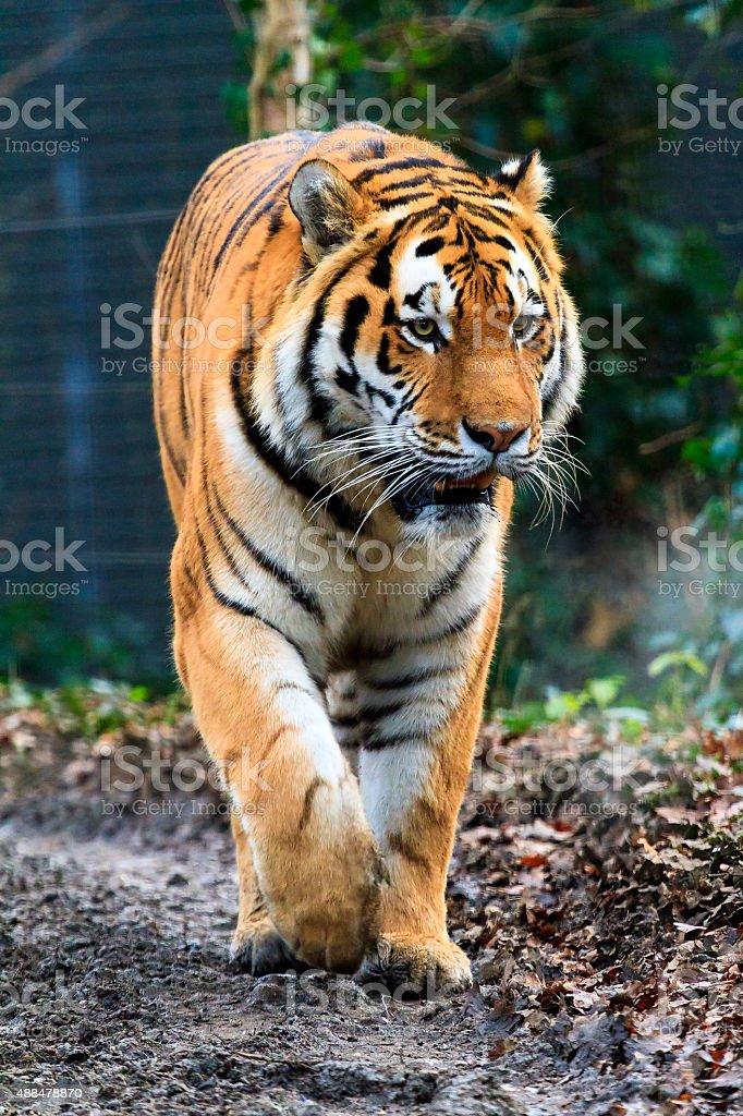 Panthera tigris stock photo