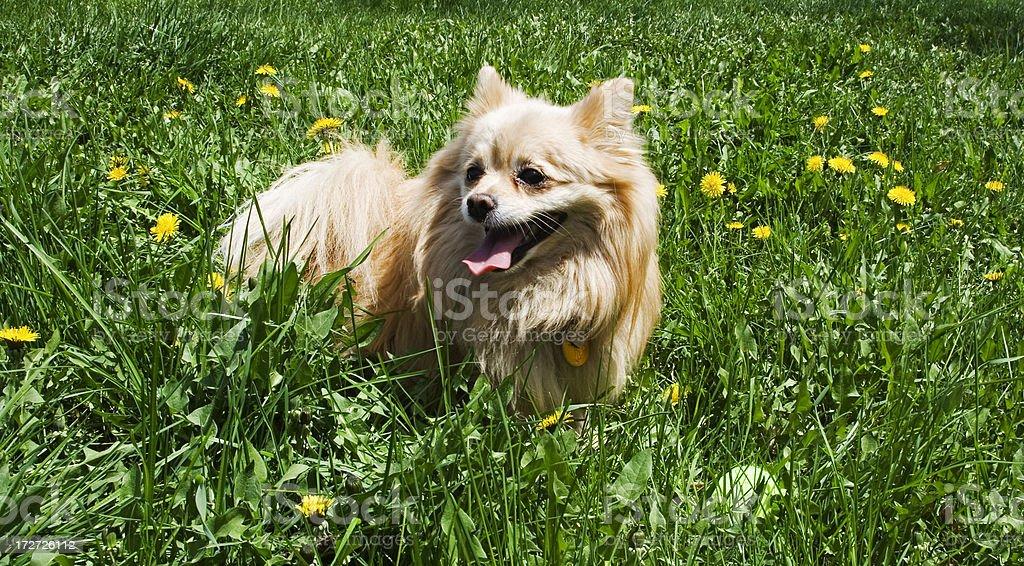 Panting dog after playing hard stock photo