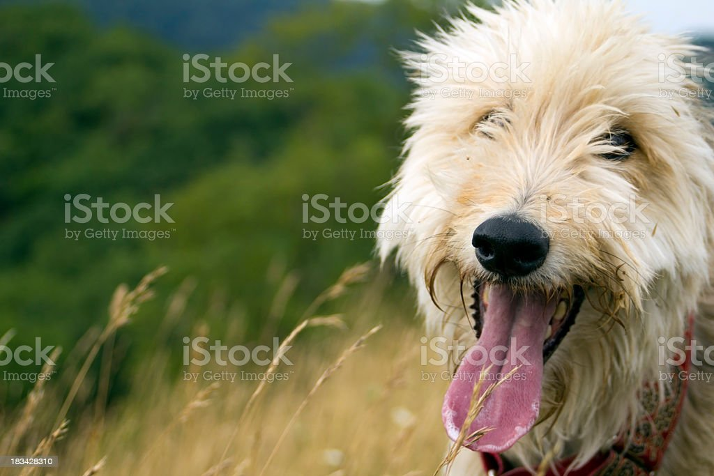 Panting dog stock photo