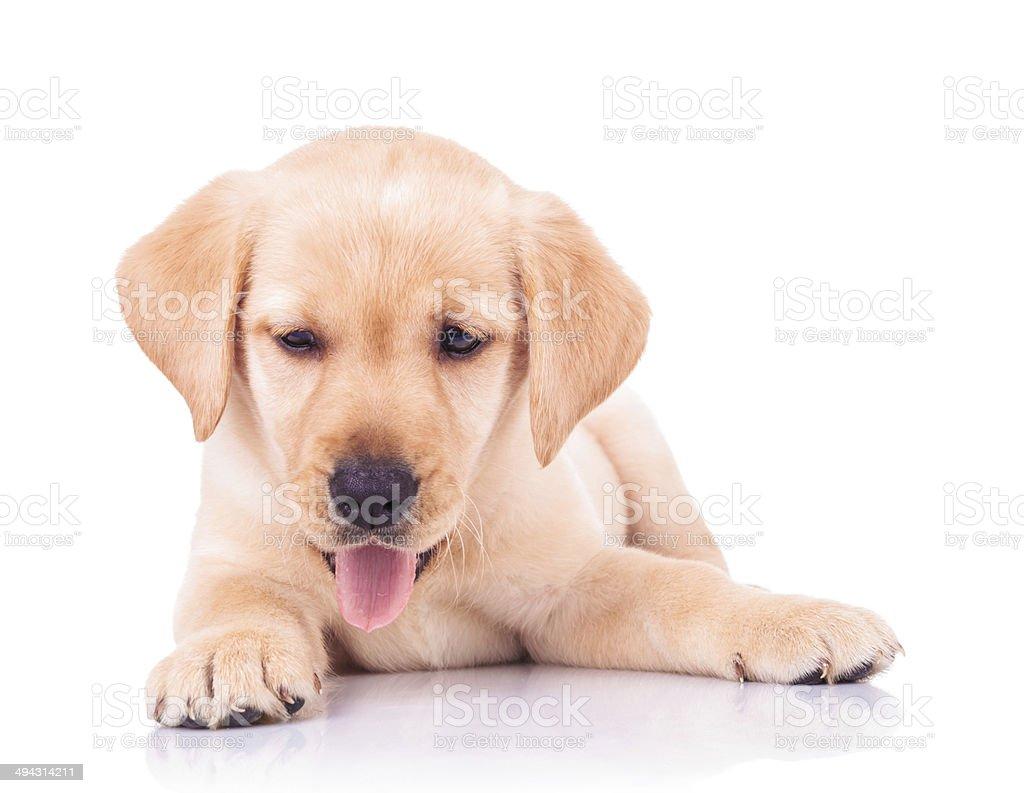 panting labrador retriever puppy dog lying down stock photo