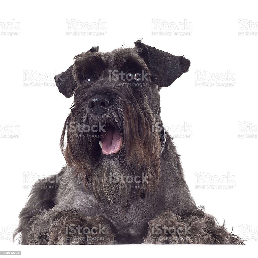 panting schnauzer stock photo