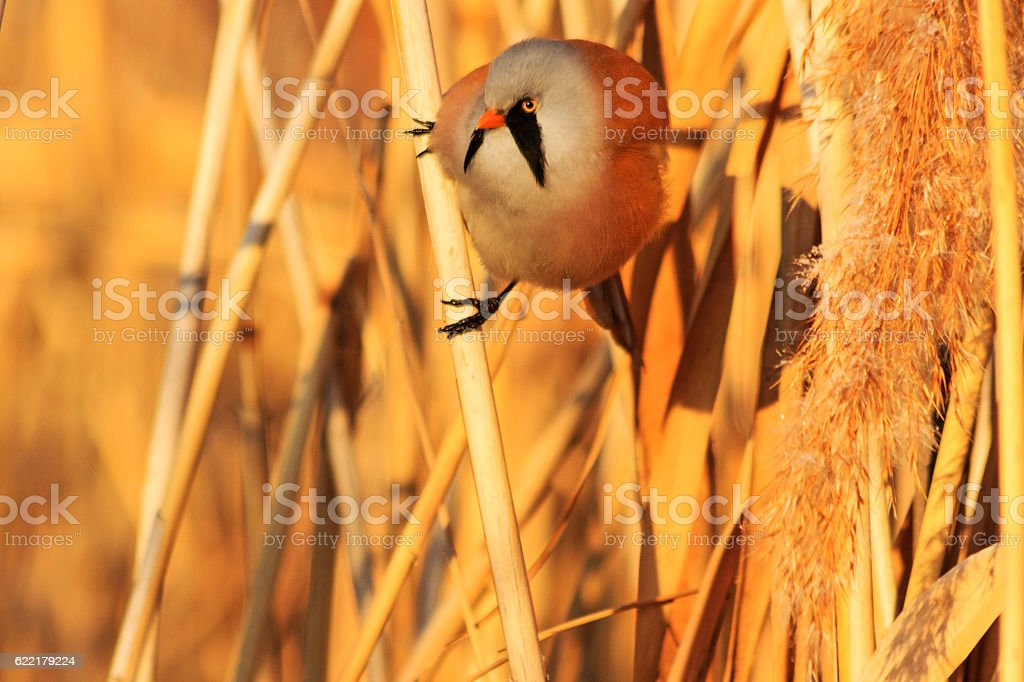 Panurus biarmicus sitting on a reed stock photo