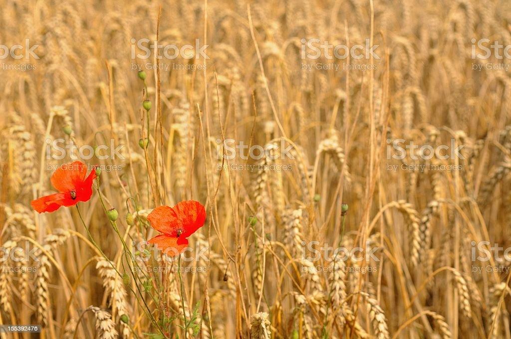 Papaver and barley stock photo