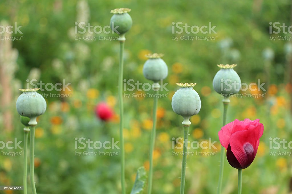 Papaver flower and poppy heads stock photo