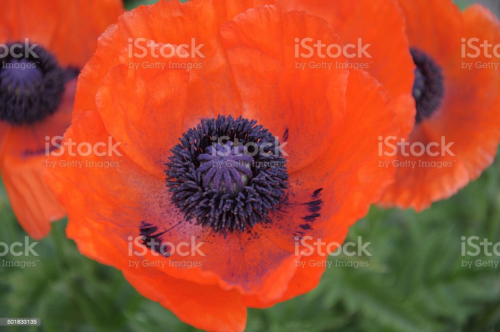 Papaver orientale red flower stock photo