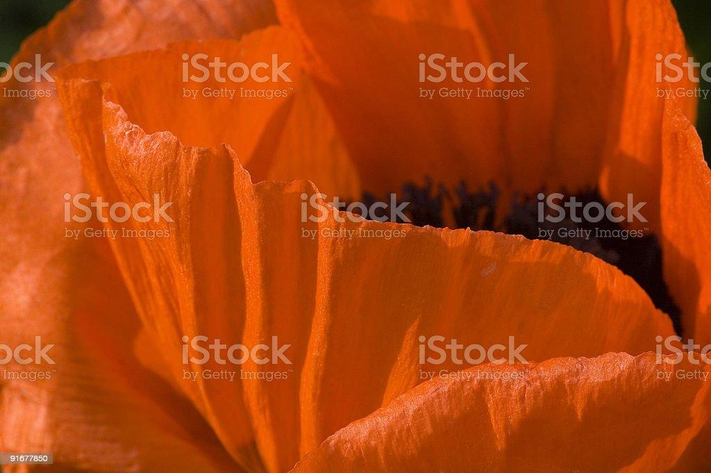 Papaver orientalis - Oriental Poppy. royalty-free stock photo