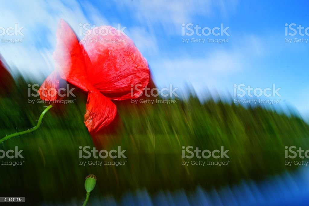 papaver stock photo