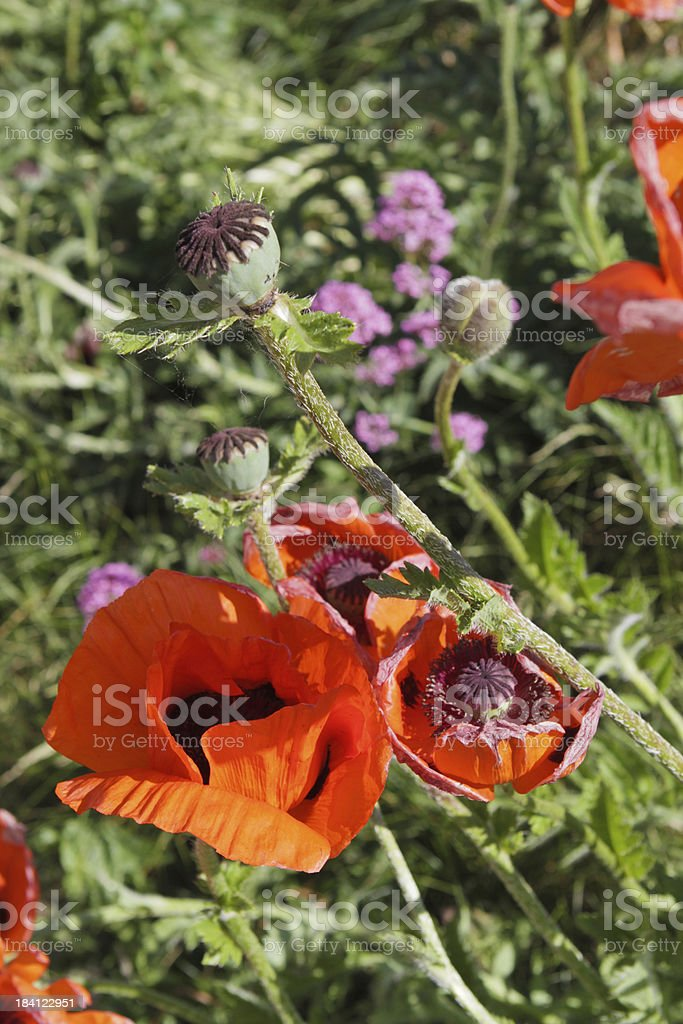 Papaver Poppies wild temperate flowers royalty-free stock photo