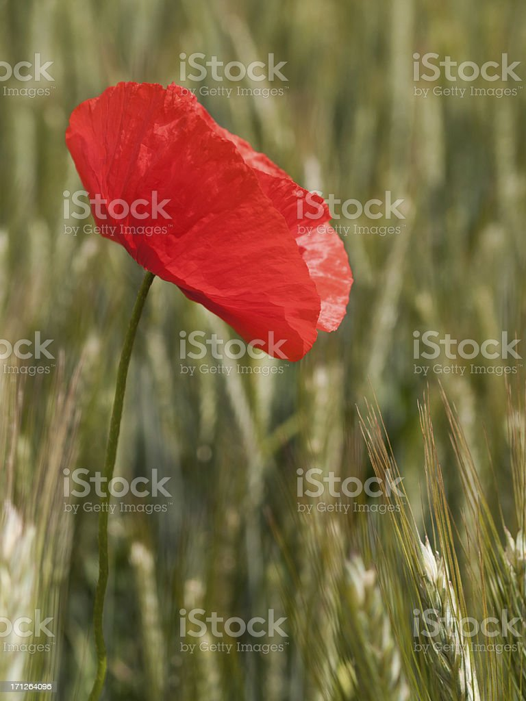 papaver rhoeas, red poppy in a green barley field royalty-free stock photo