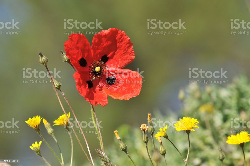 papaver sp stock photo