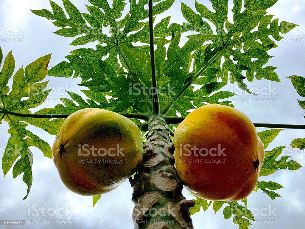 Papaya fruit stock photo