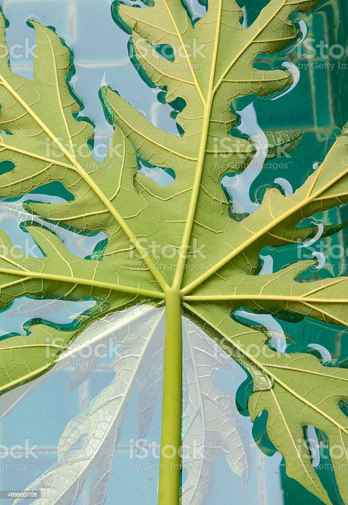 Papaya leaf floating in the pool center royalty-free stock photo