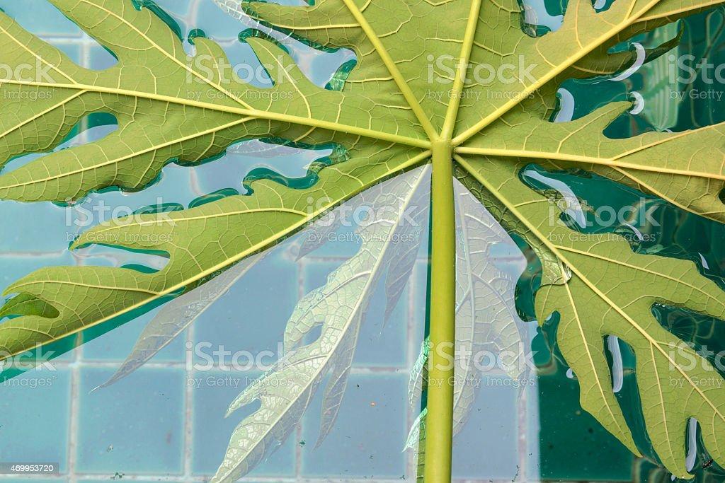 Papaya leaf floating in the pool royalty-free stock photo