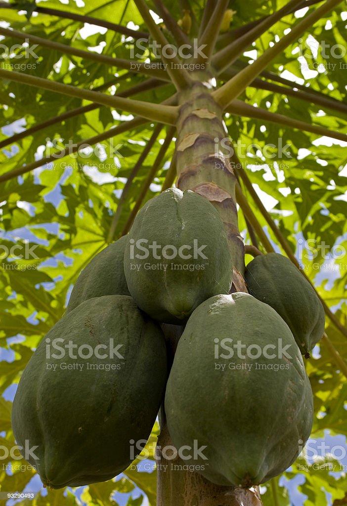 Papaya tree with fruits, kenya, africa royalty-free stock photo