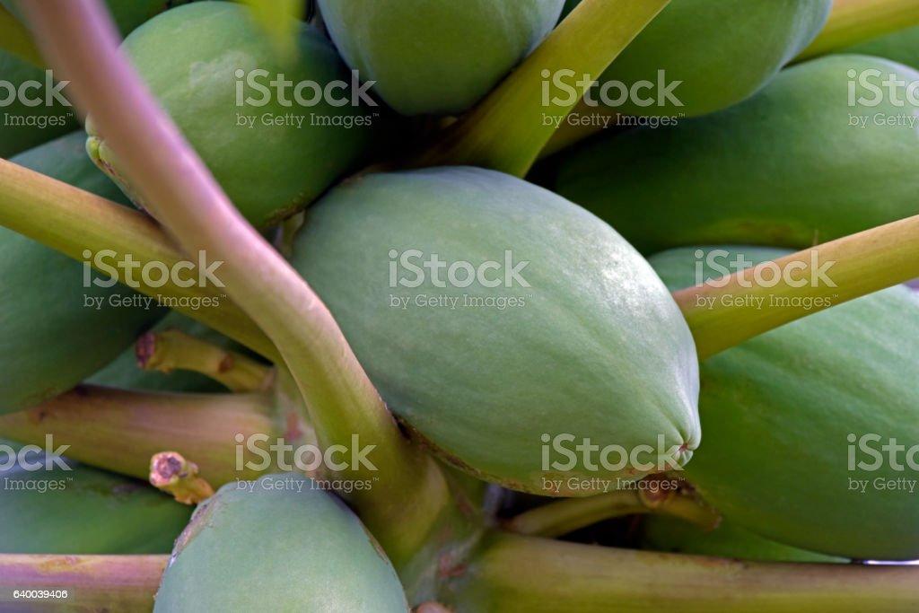 Papaya tree with fruits stock photo