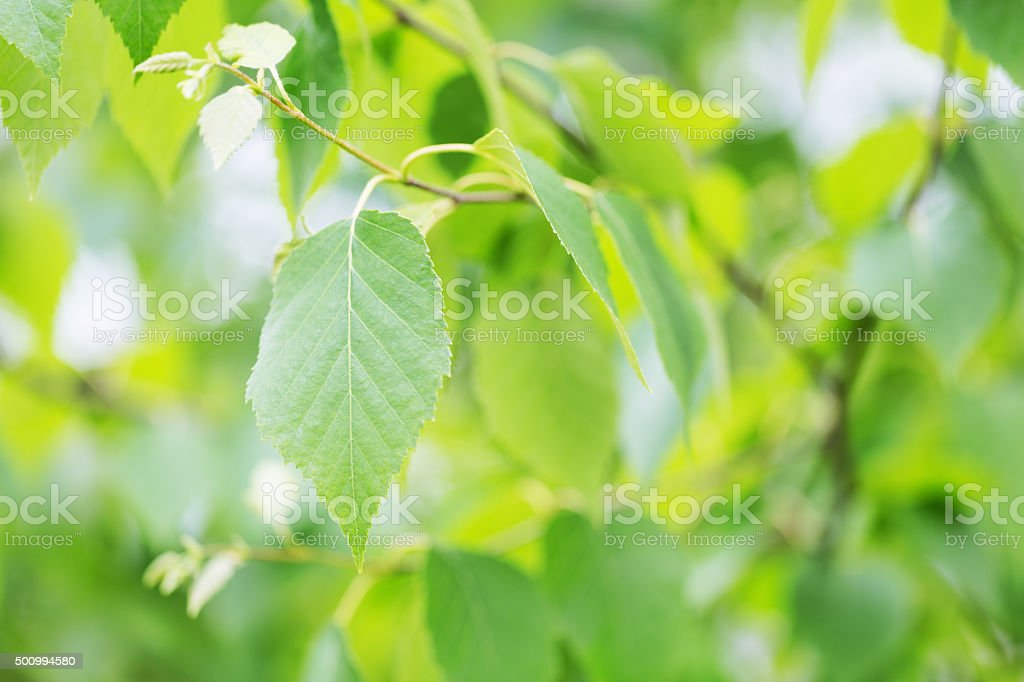 Paper Birch Leaf in Spring stock photo