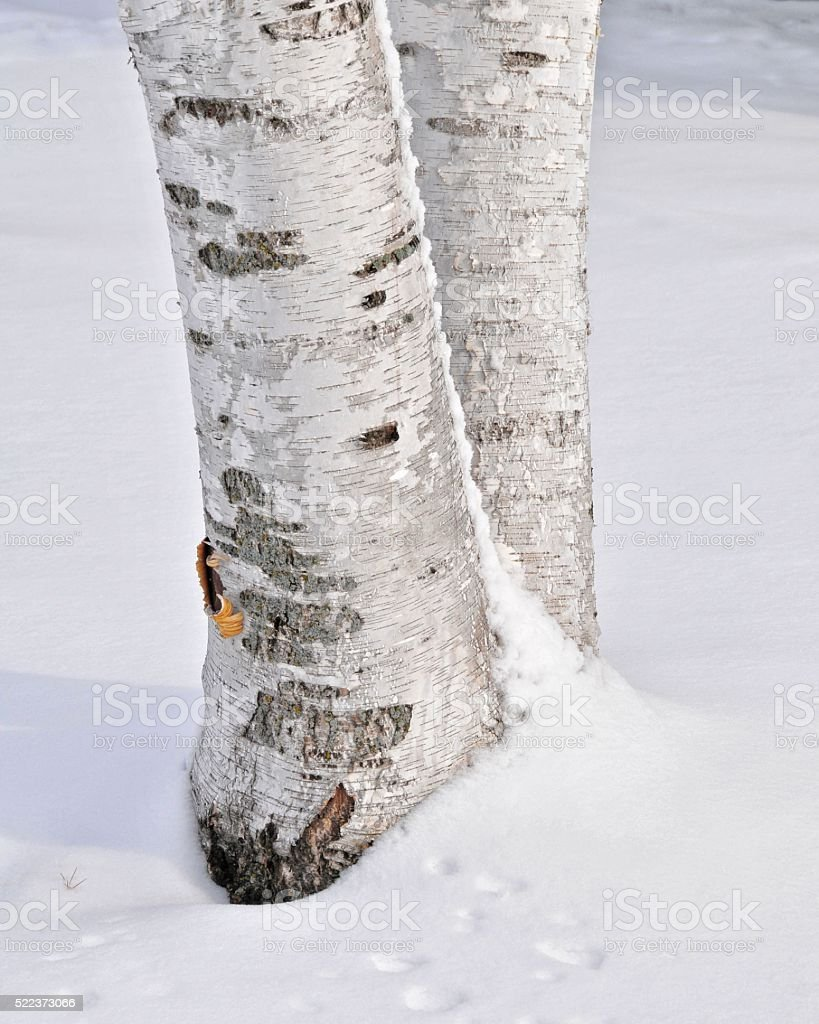 Paper Birch Tree in the Snow stock photo