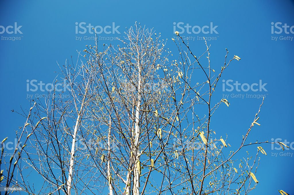 Paper Birch Trees with Catkins in Spring stock photo