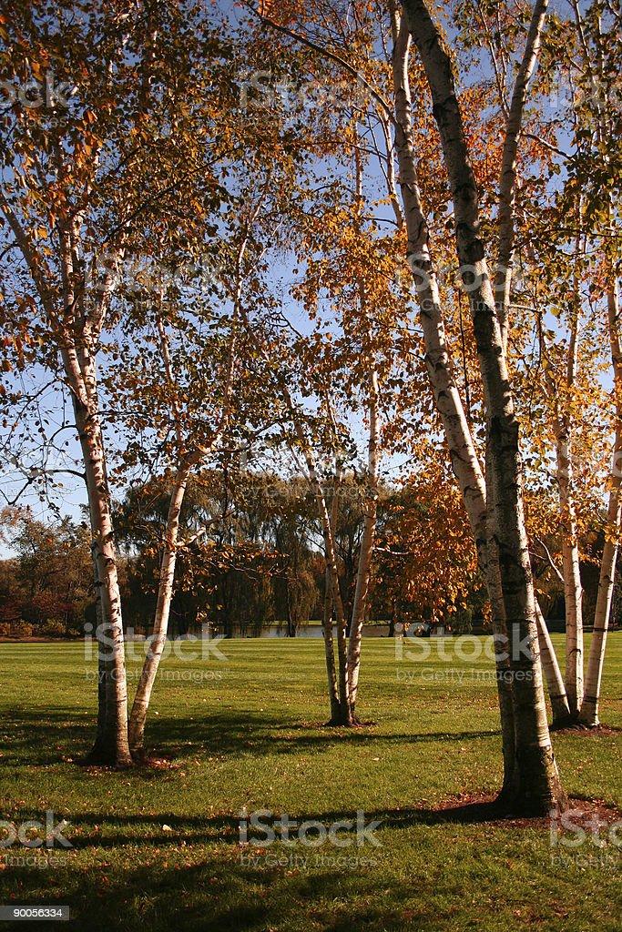 Paper birches stock photo