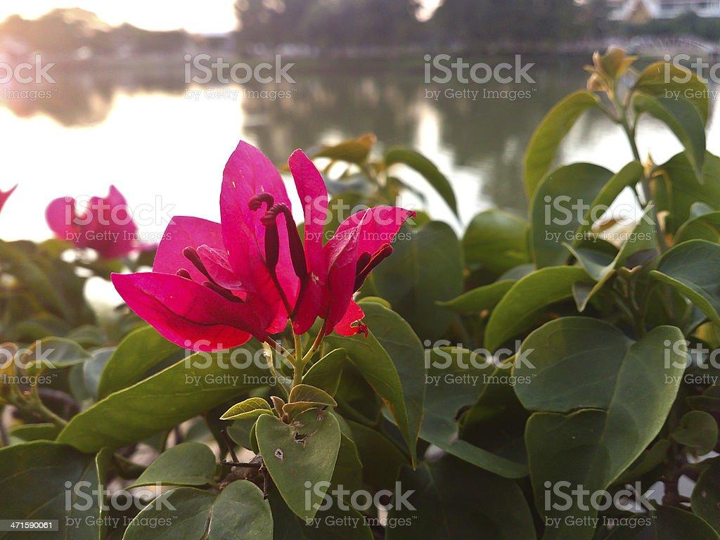 paper flower [Bougainwillea] royalty-free stock photo