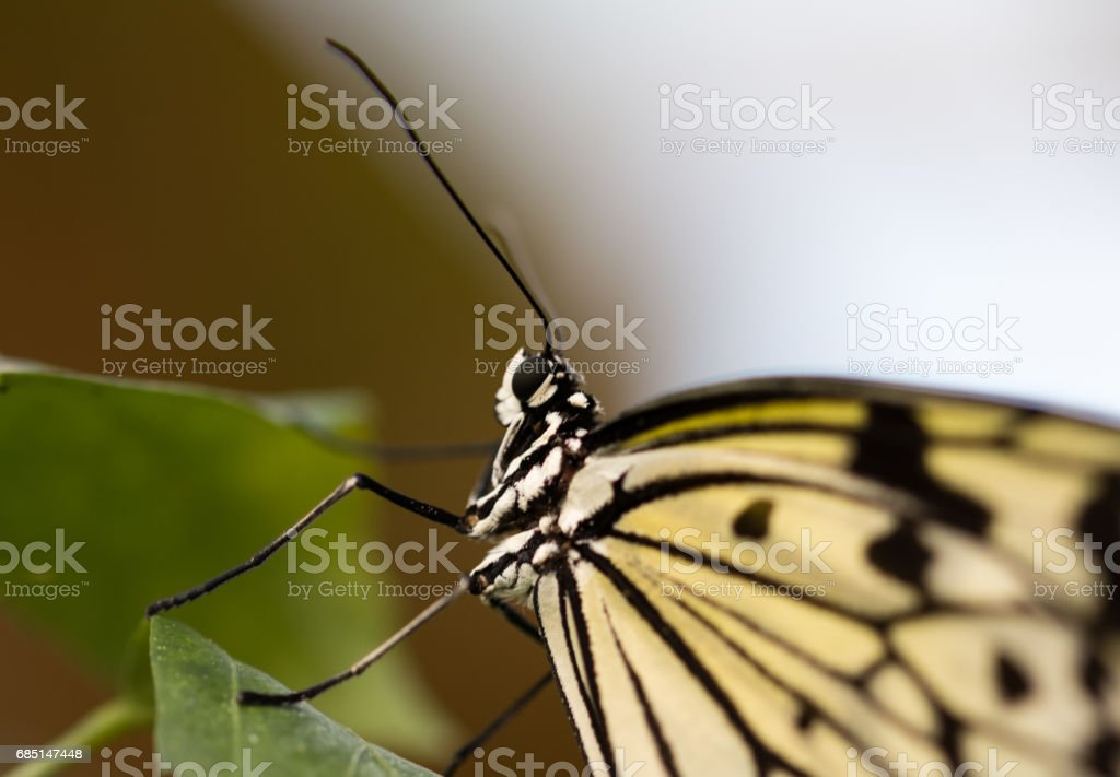 Paper Kite Butterfly close up stock photo