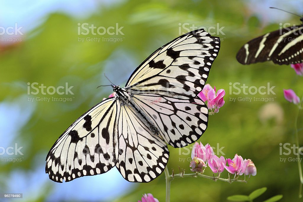 Paper Kite Butterfly (Idea Leuconoe) Close-Up stock photo