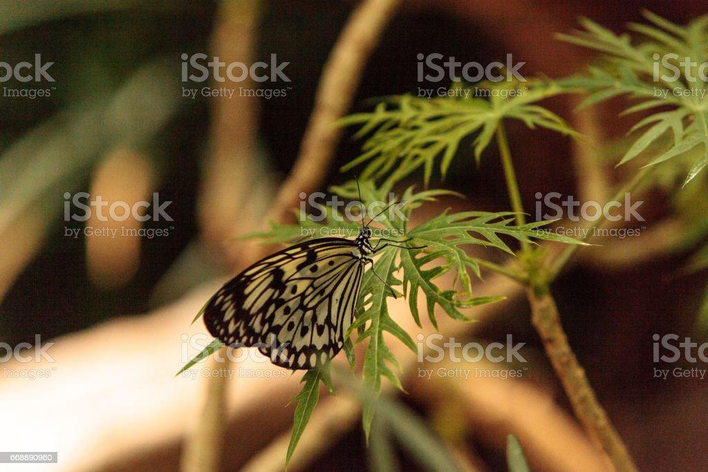 Paper kite butterfly, Idea leuconoe stock photo