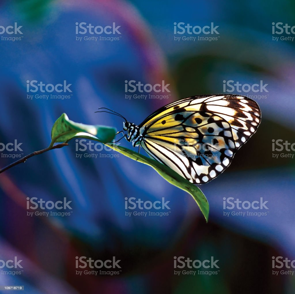 Paper Kite butterfly on leaf. stock photo