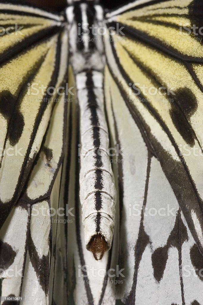Paper Kite Butterfly (Idea leucone) royalty-free stock photo
