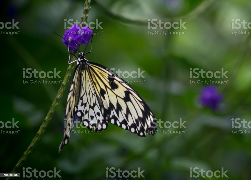 Paper Kite Butterfly stock photo