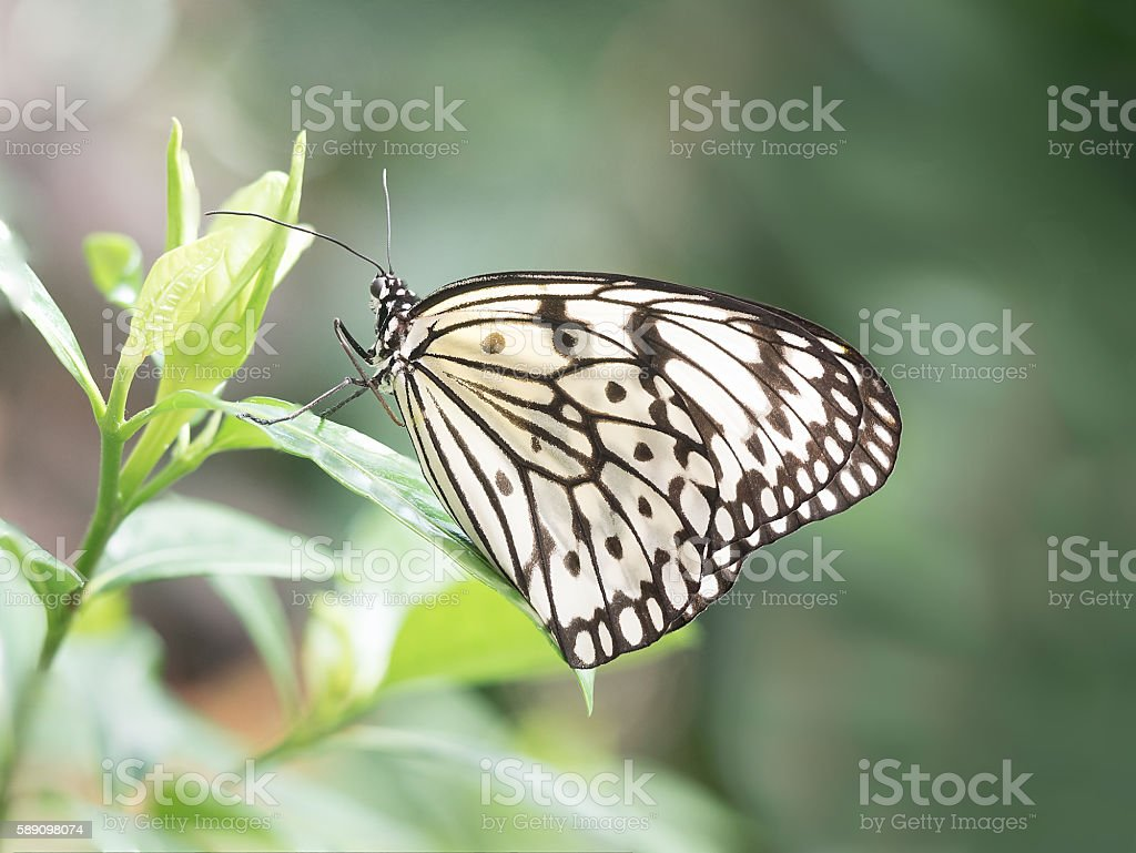 Paper Kite Butterfly Resting on a Tropical Leaf. stock photo