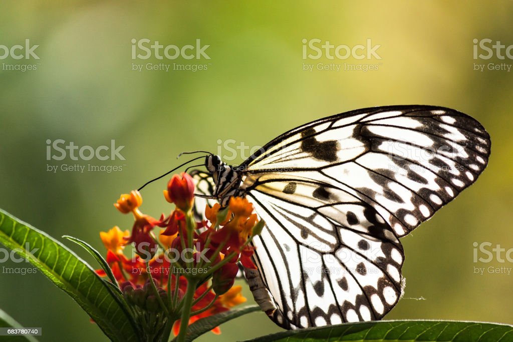 Paper Kite Butterfly Resting stock photo