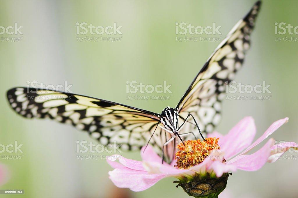 Paper Kite or Rice Butterfly (Idea leuconoe) feeding pink flower stock photo