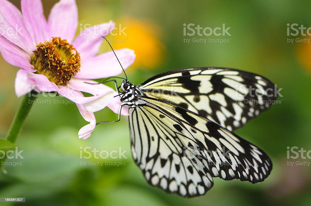 Paper Kite or Rice Butterfly (Idea leuconoe) stock photo
