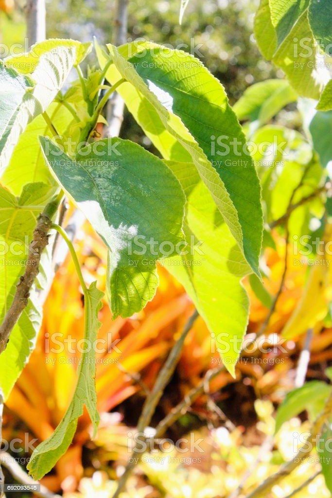 Paper Mulberry (Broussonetia papyrifera) stock photo