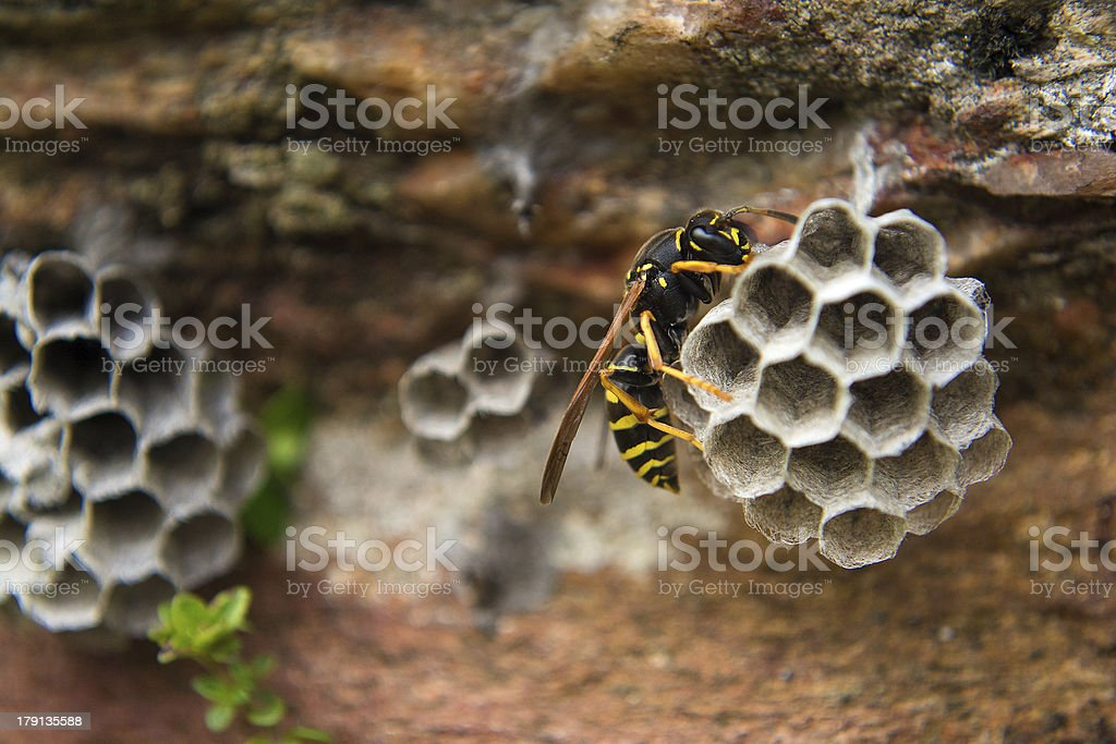 Paper Wasp Close-Up stock photo