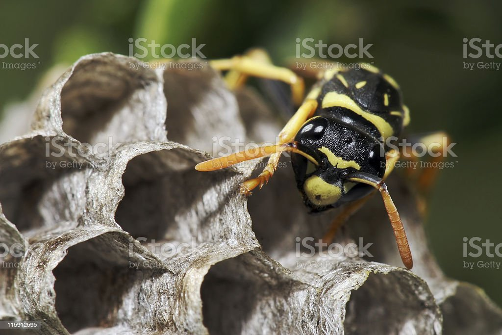 Paper wasp in its nest 01 stock photo