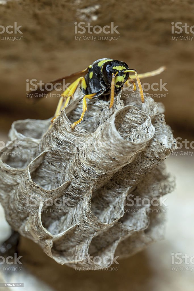 Paper Wasp Queen royalty-free stock photo