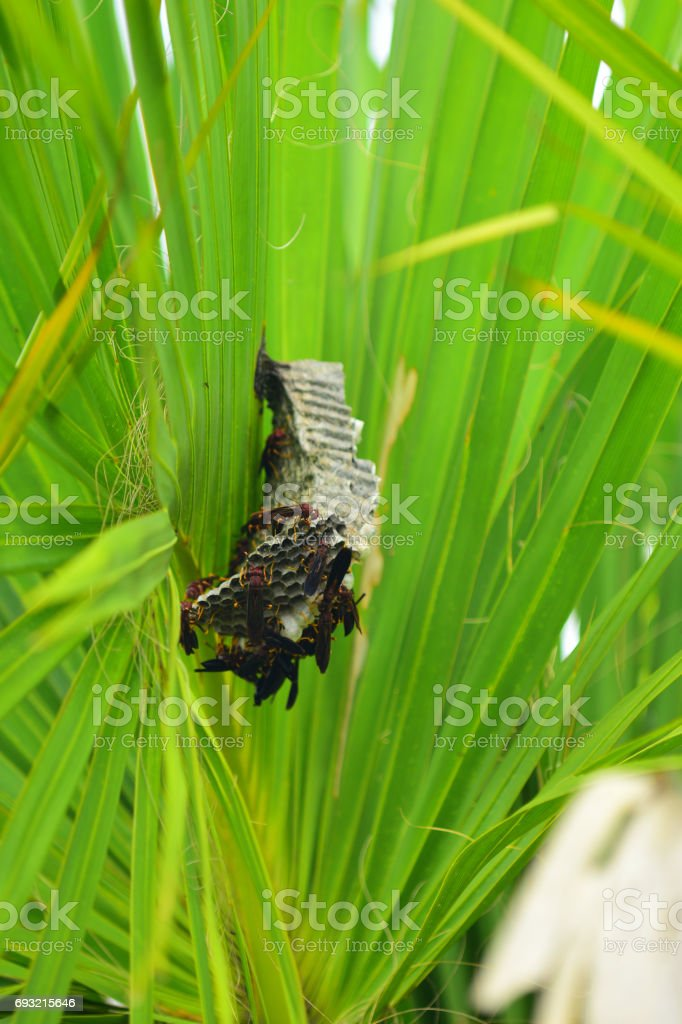 Paper wasps on nest attached to Cabbage Palm frond stock photo