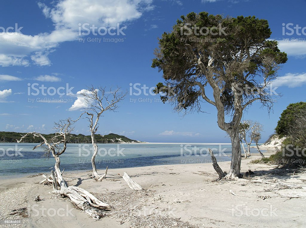 Paperbark Tree by the Beach stock photo