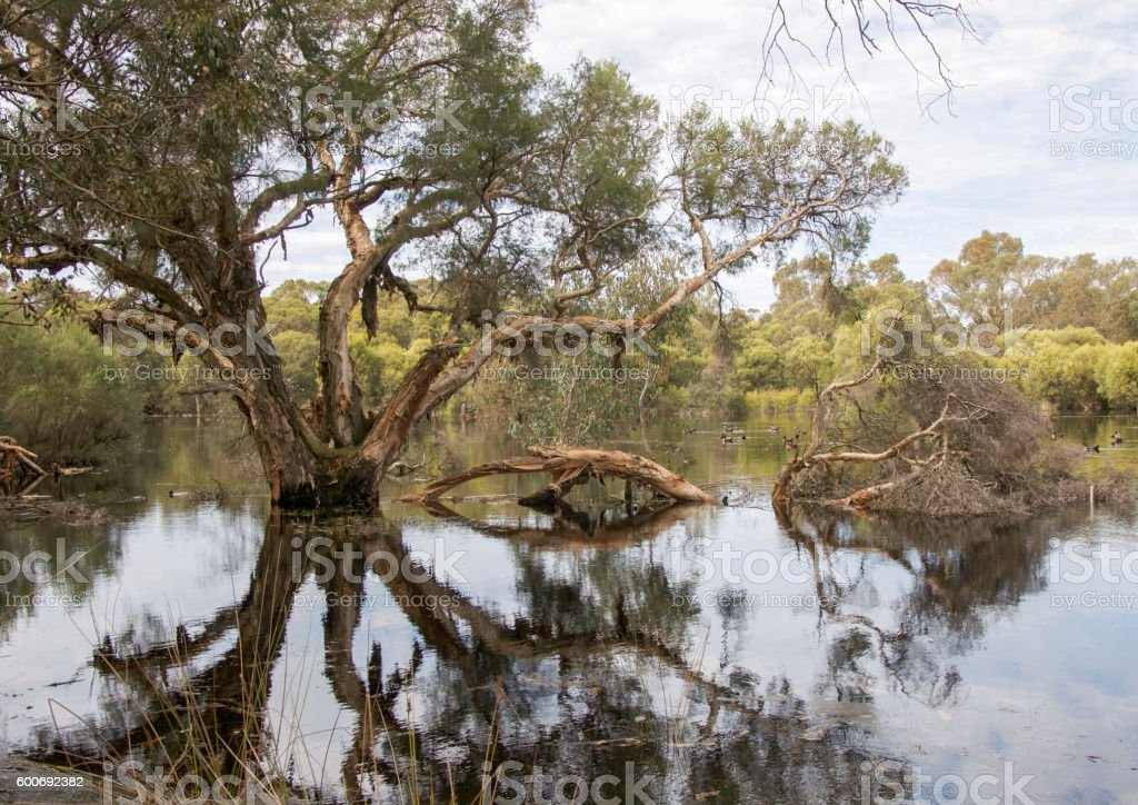 Paperbark Tree: Reflections stock photo