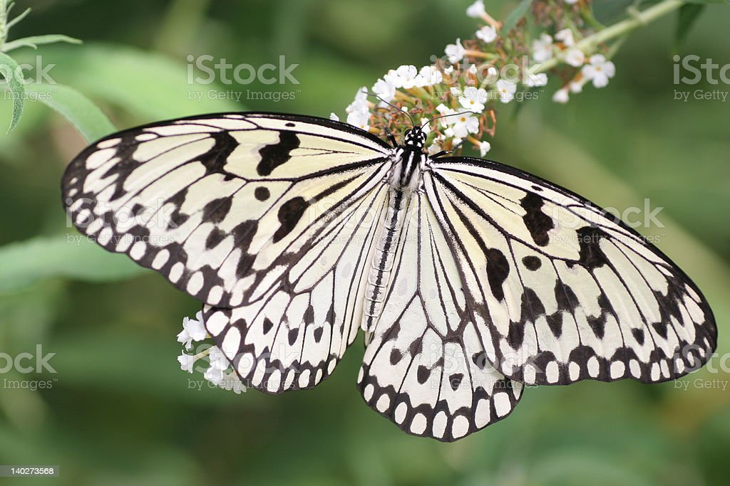 Paper-Kite Butterfly at Mackinac Island stock photo