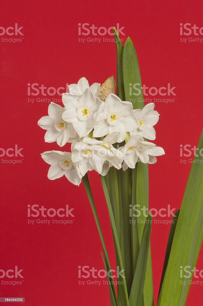 Paperwhite Flowers on Red Background stock photo