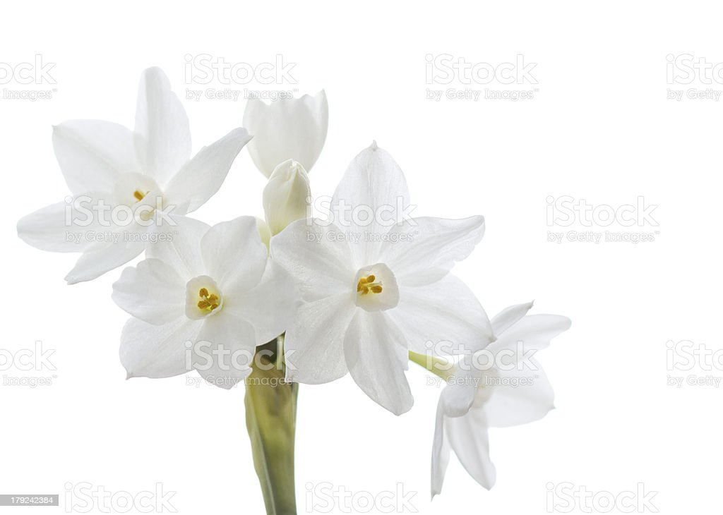 Paperwhite narcissus, isolated stock photo