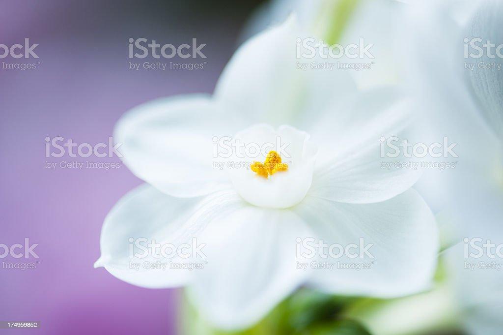 Paperwhite Stamen royalty-free stock photo