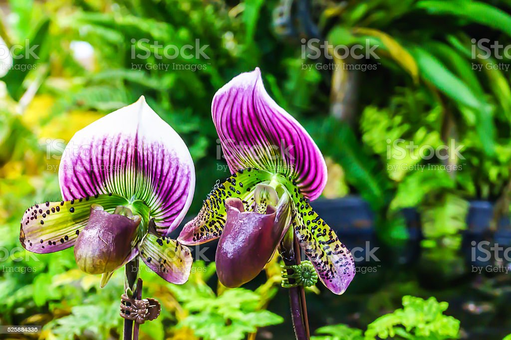 Paphiopedilum maudiae hybrid orchid stock photo