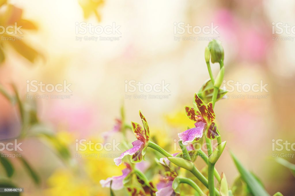 Paphiopedilum orchid background stock photo