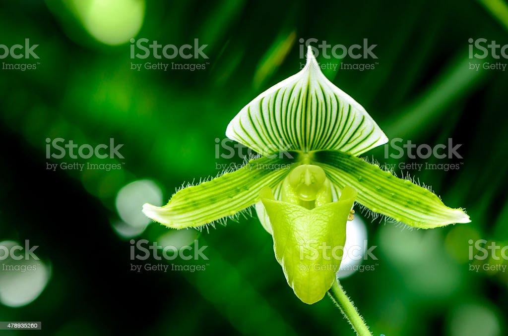 Paphiopedilum Orchid stock photo