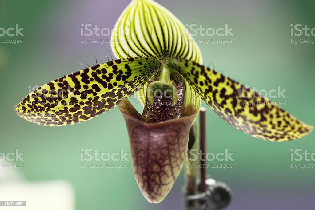 Paphiopedilum, orchid stock photo